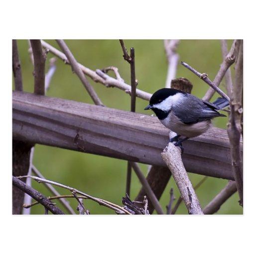 Pájaro en un miembro postales