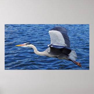 Pájaro gris de la garza en vuelo impresiones