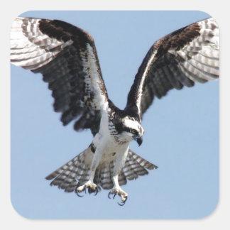 Pájaro hermoso de Osprey que busca para la presa Pegatina Cuadrada