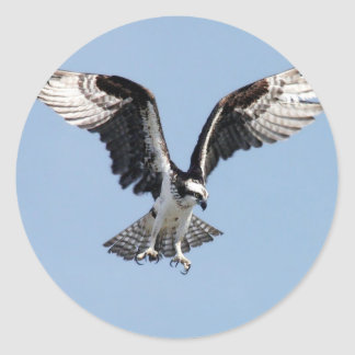 Pájaro hermoso de Osprey que busca para la presa Pegatina Redonda
