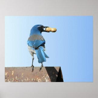 Pájaro hermoso del arrendajo azul con el poster de