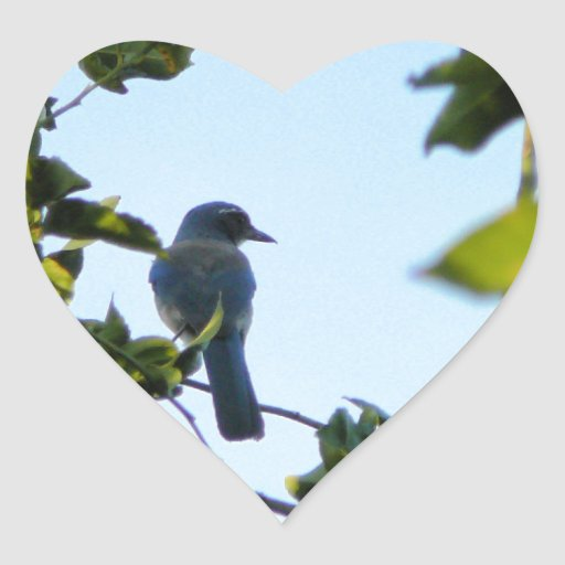 Pájaro hermoso del arrendajo azul pegatina en forma de corazón