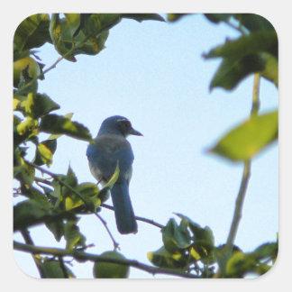 Pájaro hermoso del arrendajo azul pegatina cuadrada