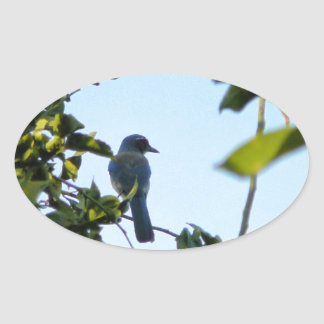 Pájaro hermoso del arrendajo azul pegatina ovalada