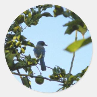 Pájaro hermoso del arrendajo azul pegatina redonda
