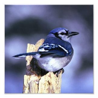 Pájaro hermoso del arrendajo azul arte fotográfico