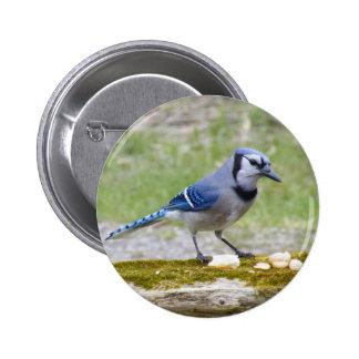 Pájaro hermoso del arrendajo azul pin redondo de 2 pulgadas