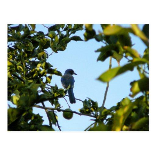 Pájaro hermoso del arrendajo azul tarjetas postales