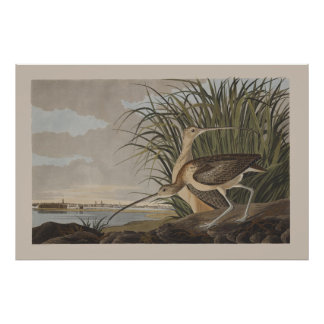 Pájaro longirrostro de la lavandera de zarapito de póster