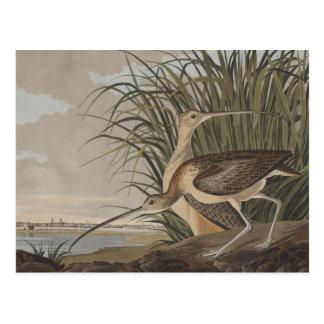 Pájaro longirrostro de la lavandera de zarapito de tarjeta postal