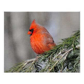 Pájaro masculino cardinal - impresión fotos