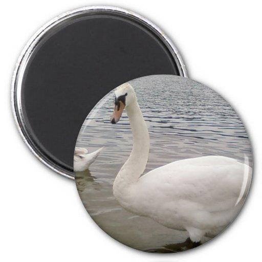 Pájaro masculino del cisne imán para frigorifico