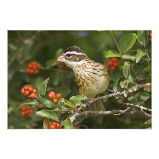 Pájaro Pheucticus 2 del Rosa-breasted Fotografías