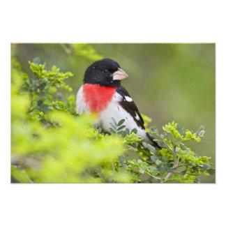 Pájaro Pheucticus del Rosa-breasted Fotografía