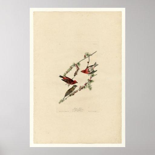 Pájaro, pinzón púrpura - Audubon - vintage Póster