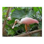 Pájaro rosado del Spoonbill rosado Tarjetas Postales