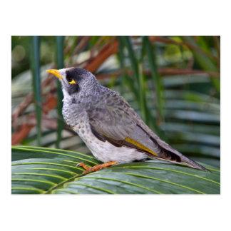 Pájaro ruidoso del minero, Adelaide, Australia Postal