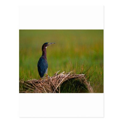 pájaro una garza del verde del momento reservado tarjeta postal