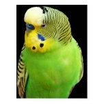 """""""Pájaro verde """" Tarjeta Postal"""