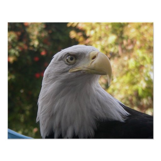 """Pájaros 009 20"""" poster de x16"""" Eagle calvo"""