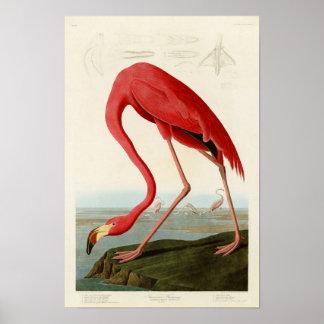 Pájaros americanos de Juan Audubon del flamenco de Póster