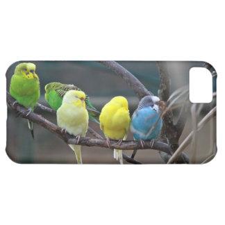 Pájaros australianos coloridos brillantes de Budgi