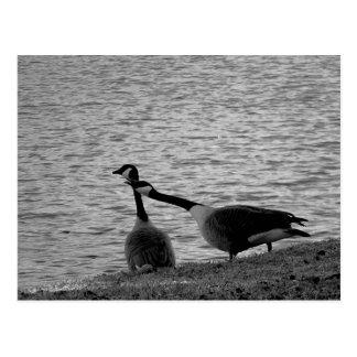 Pájaros B&W del amor Postal
