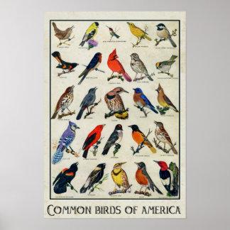 Pájaros comunes del pájaro antiguo de América Póster