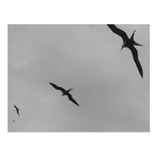 Pájaros de fragata (Fragata), Isla Isabela, México Tarjetas Postales