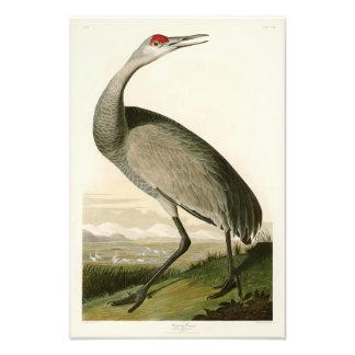 Pájaros de John James Audubon de la grúa de Cojinete