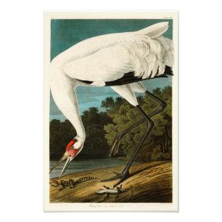 Pájaros de John James Audubon de la grúa que Cojinete