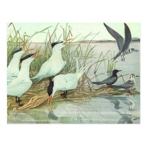 Pájaros de la vida marina del vintage, aves coster tarjeta postal