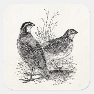 Pájaros de las codornices del vintage - pájaro de pegatina cuadrada