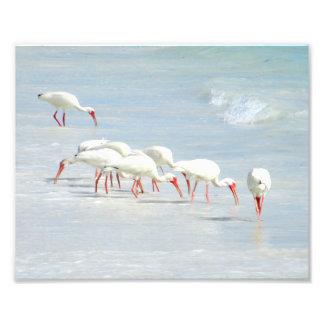 Pájaros de orilla blancos de Ibis en la playa Fotografías