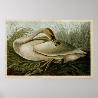 Pájaros del cisne de trompetista de la placa el póster