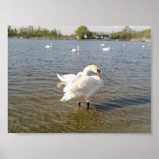 Pájaros del cisne póster