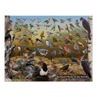 Pájaros del patio trasero del norte póster