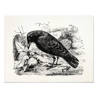 Pájaros europeos de los cuervos del pájaro del fotografía