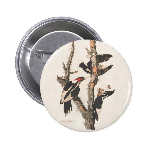 Pájaros extintos: Audubon Marfil-Cargó en cuenta l Pin