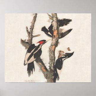 Pájaros extintos: Audubon Marfil-Cargó en cuenta l Póster