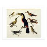 Pájaros nativos, incluyendo el Toucan (centro), Am Tarjeta Postal