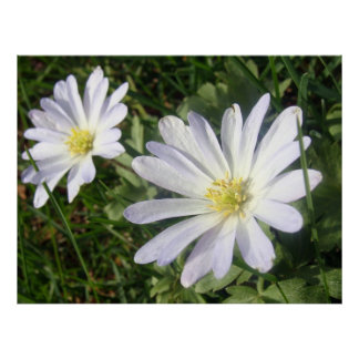Pale Blue Anemone Blanda Poster