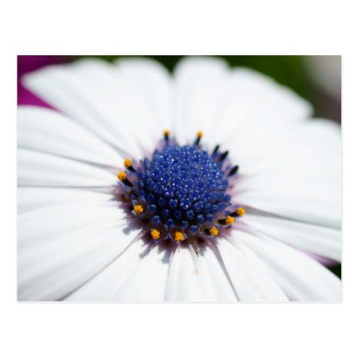 Pale Blue Daisy Postcard