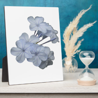 Pale Blue Plumbago Isolated Plaque