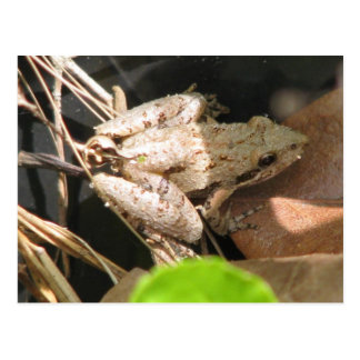 Pale Cricket Frog Postcard