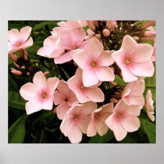 Pale Pink Hydrangeas | Poster