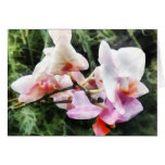 Pale Pink Phalaenopsis Orchids Cards