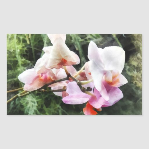 Pale Pink Phalaenopsis Orchids Rectangle Sticker