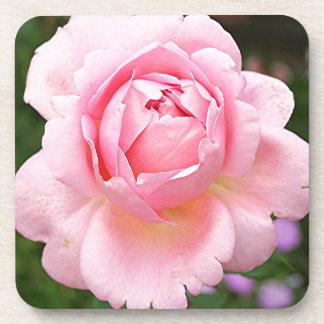 Pale pink rose flower in bloom in garden coaster