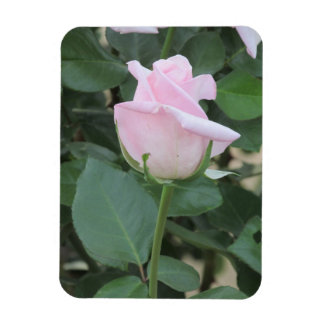 Pale Pink Rose Magnet